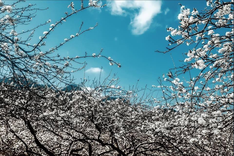 hoa mận mộc châu nở trắng một vùng trời