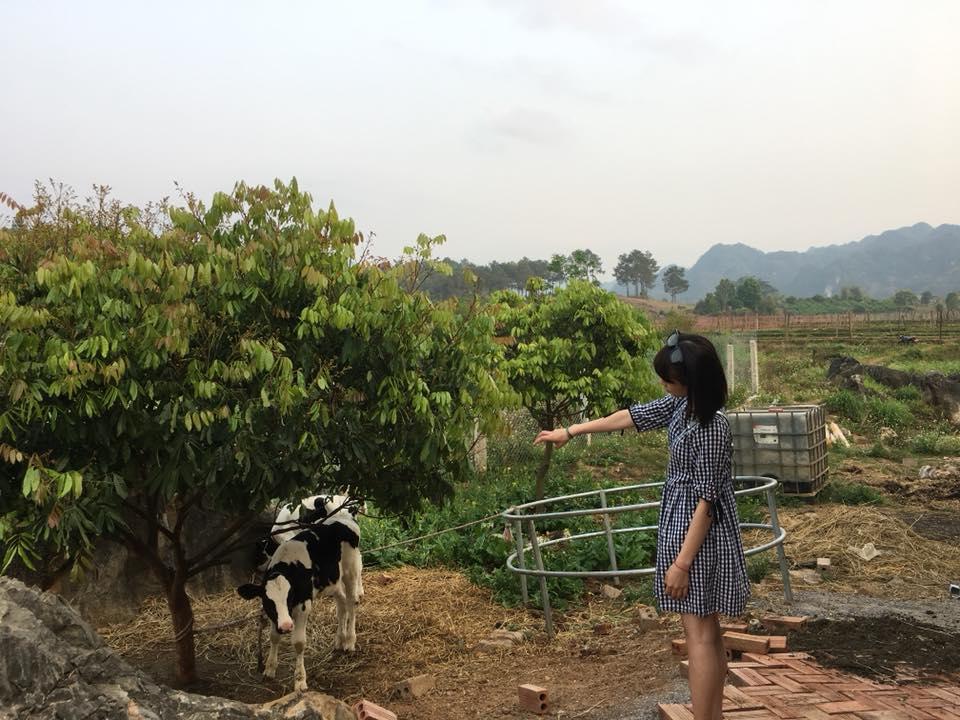 trải nghiệm nông trường bò sữa mộc châu