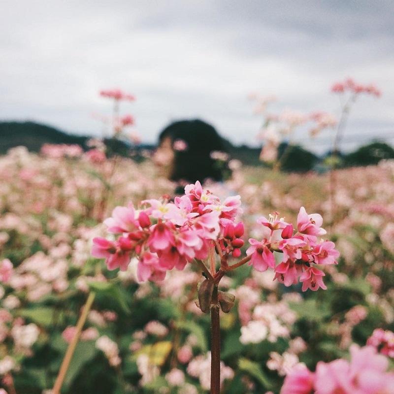 những bông hoa tam giác mạch bung nở khi vào mùa
