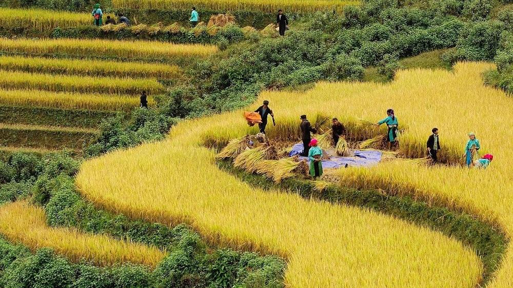 Mùa lúa chín vàng ở Hà Giang