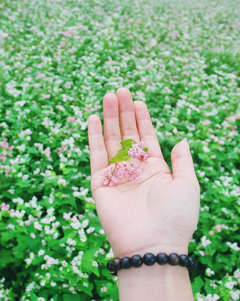 Những bông hoa tam giác mạch vào mùa