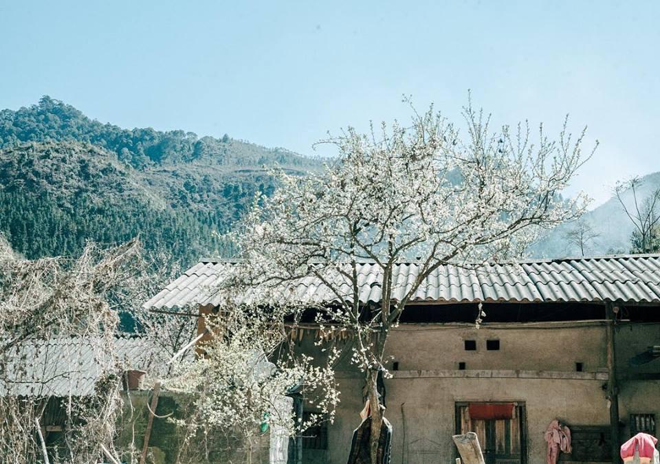 Cây hoa mận phía trước hiên nhà