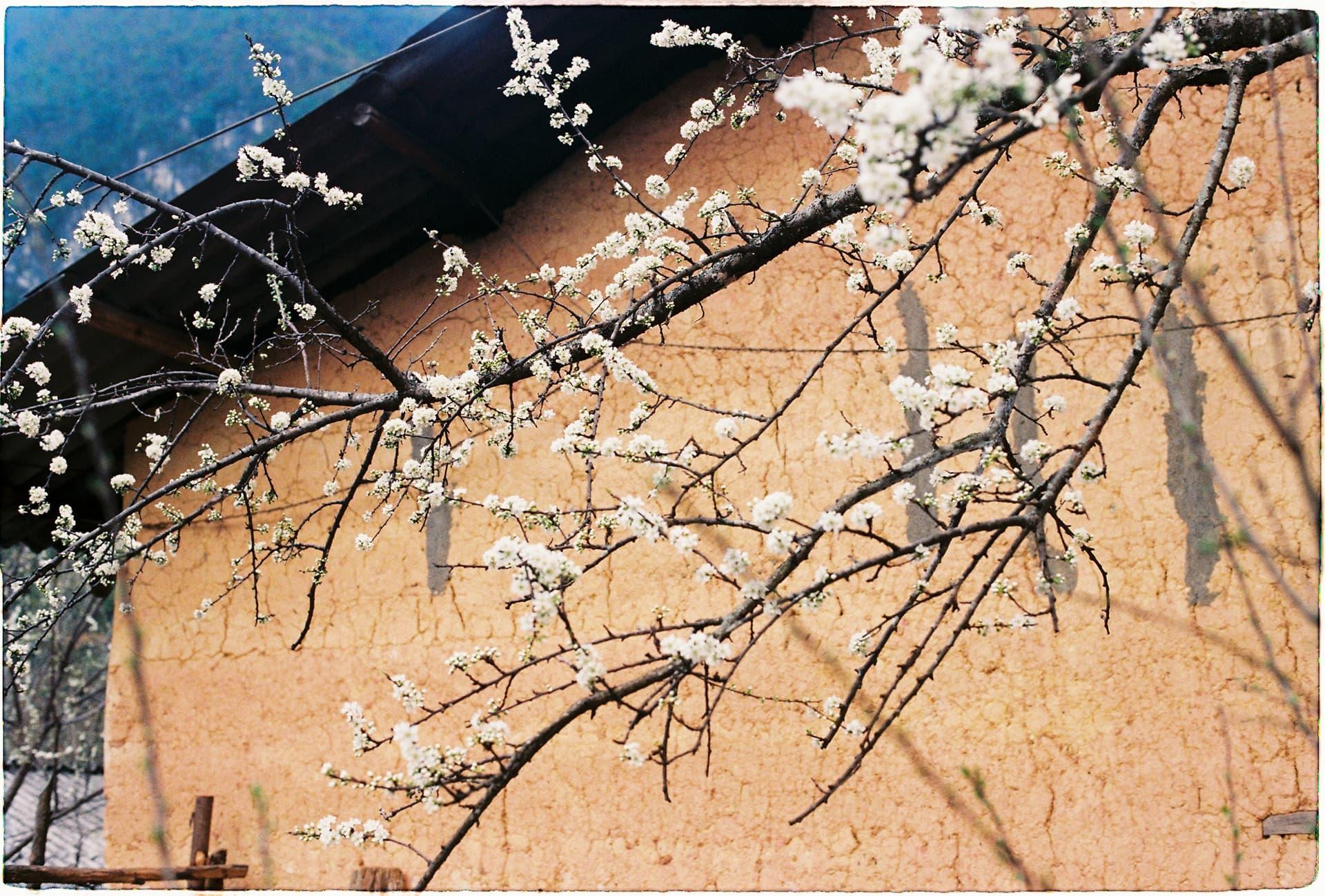 Hoa mận trắng phía sau hiên nhà