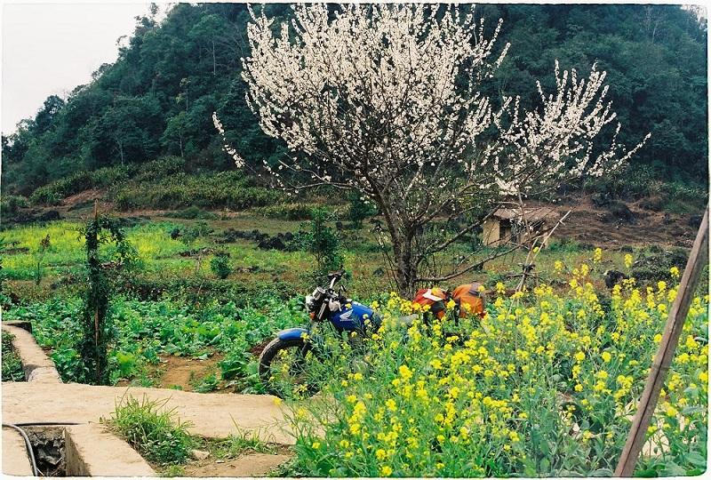 Mùa hoa cải vàng và hoa mận