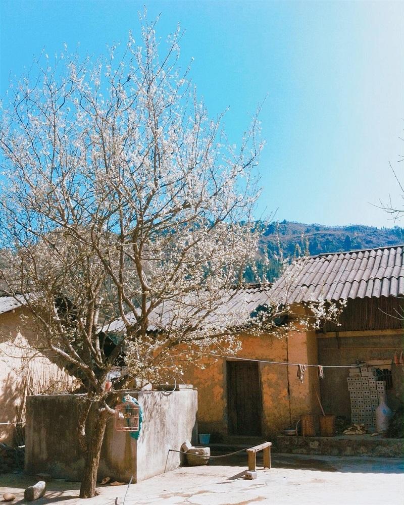 Cây hoa mận trắng trước cửa nhà của Pao