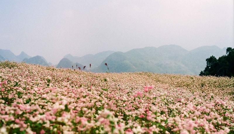 cánh đồng hoa tam giác mạch bạt ngàn ở thung lũng Sủng là