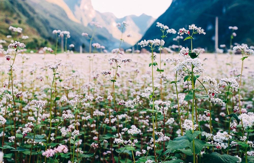 Những bông hoa tam giác mạch nở rộ vươn mình