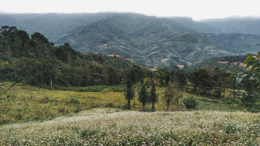 Cánh đồng hoa tam giác mạch dẫn vào rừng thông yên minh