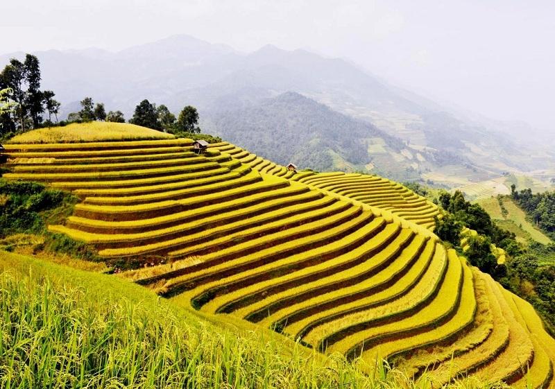ruộng bậc thang hoàng su phì mùa lúa chín như những tấm thảm nhung