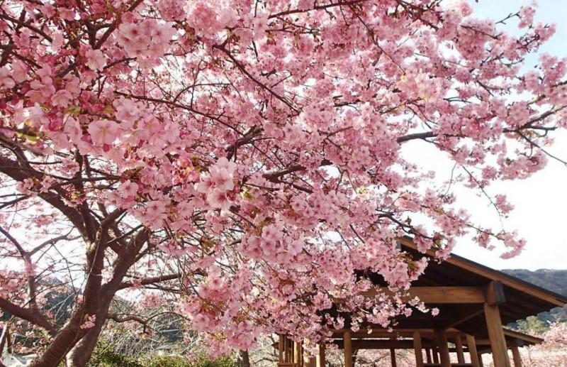 Mùa hoa anh đào nở rộ tại Nhật