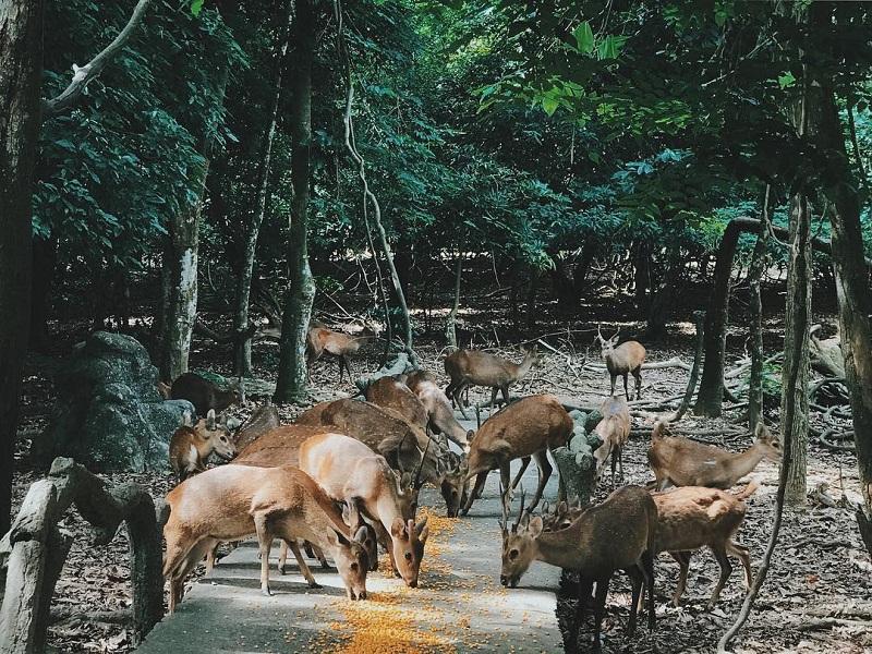 Đàn hươu được cho ăn ở khu du lịch Đầm Long