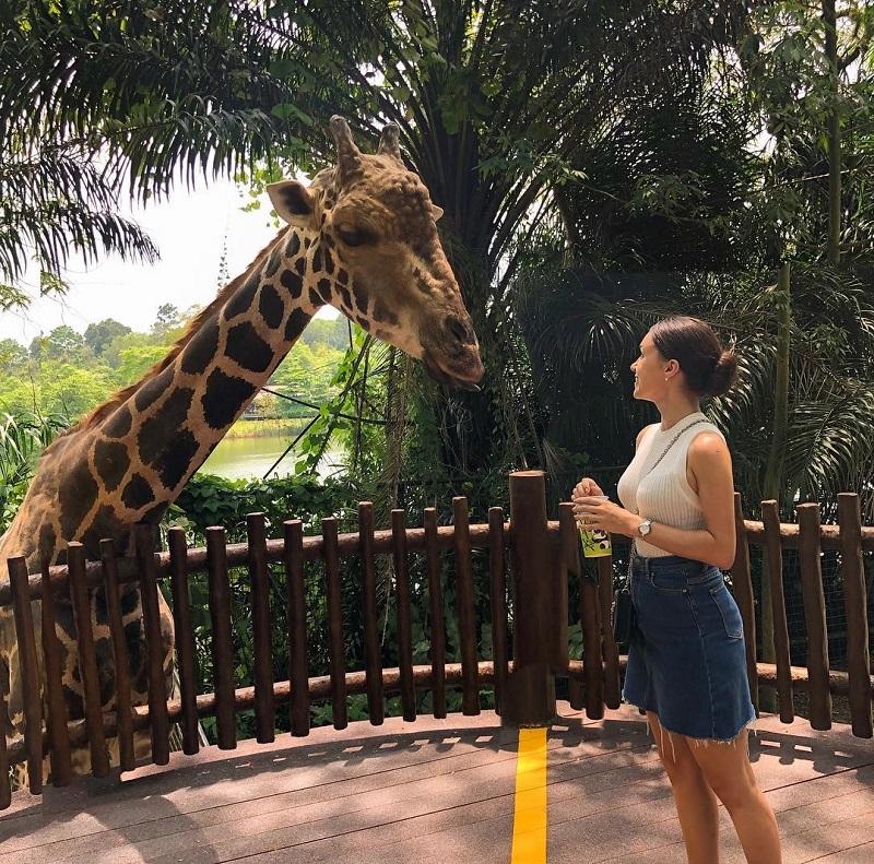 Những chú hươu cao cổ tại Singapore Zoo rất thân thiện với du khách