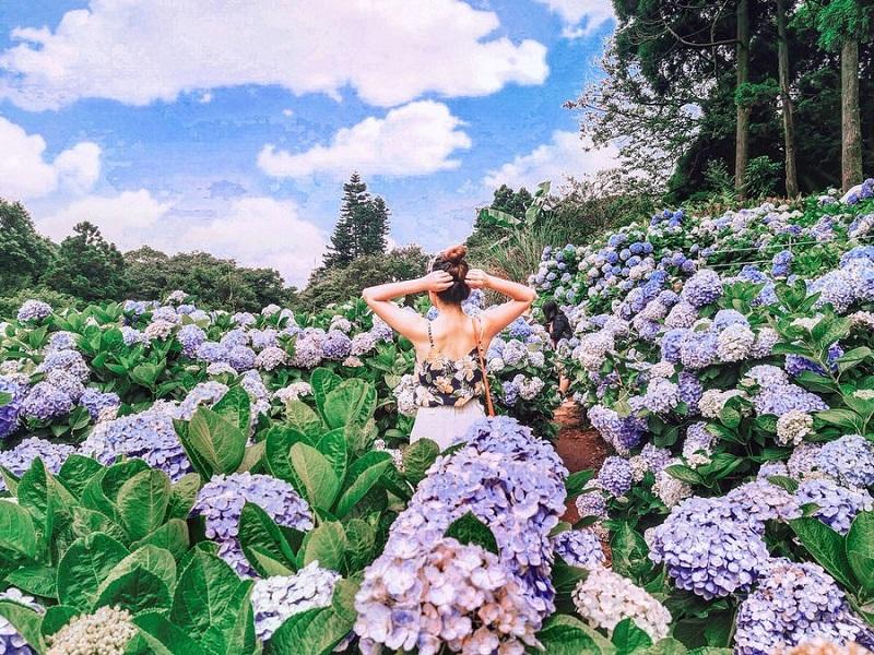 Vườn hoa cẩm tú cầu ở công viên Dương Minh Sơn
