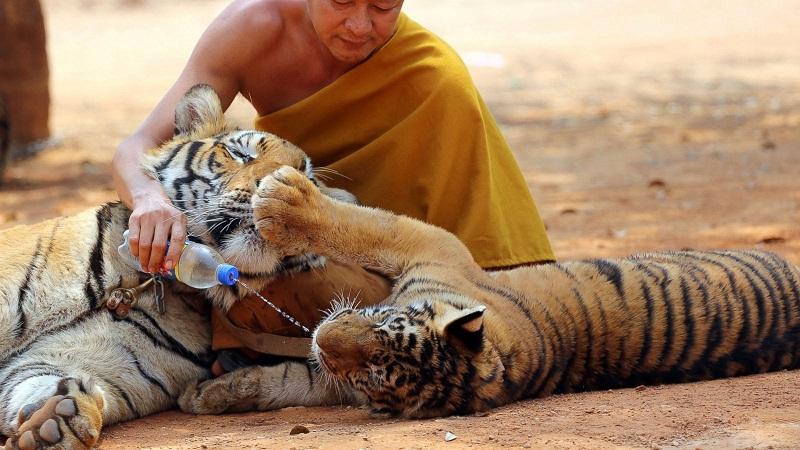 chùa Hổ Thái Lan