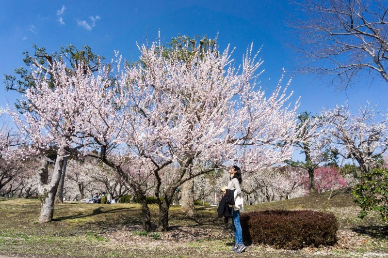 Mùa hoa anh đào nở rộ vào tháng 4 tại Nhật