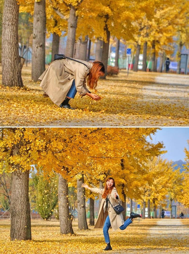 Con đường lãng mạn Asan Gingko Tree Road mùa lá vàng rơi