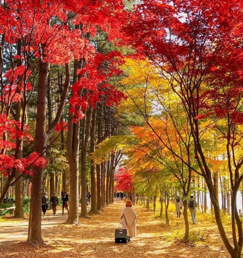 Con đường thơ mộng của đảo Nami ngập tràn trong sắc đỏ và vàng