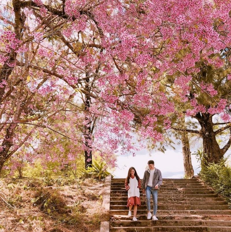 Đà Lạt mùa xuân được nhuộm màu bởi sắc hoa anh đào