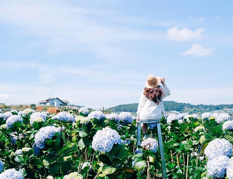 Chụp ảnh sống ảo ở vườn hoa cẩm tú cầu Đà Lạt