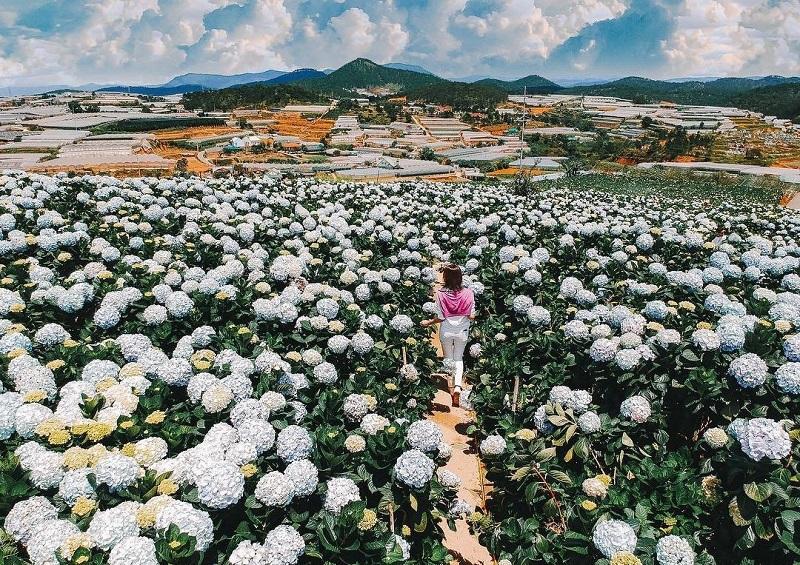 Làng hoa Vạn Thành vào mùa hoa cẩm tú cầu