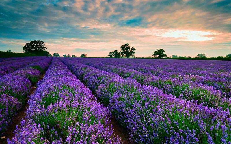Vườn hoa Lavender rộng mênh mông ở Đà Lạt