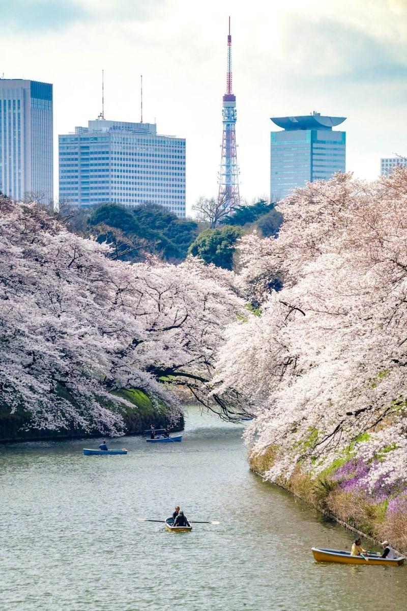 Dòng sông mùa hoa anh đào tại thành phố Tokyo Nhật Bản