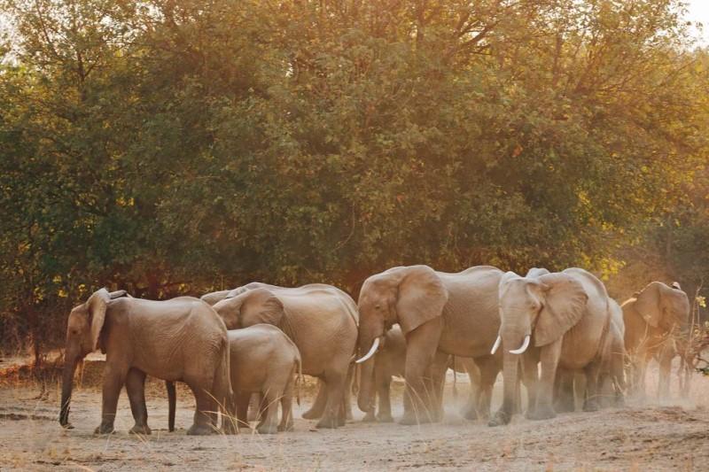 Đàn voi tại Zambia Châu Phi