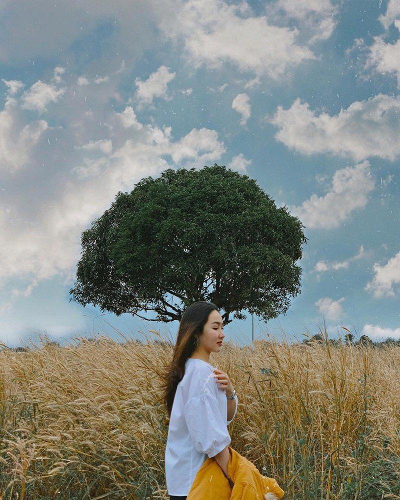 Cánh đồng cỏ lau daklak mùa khô