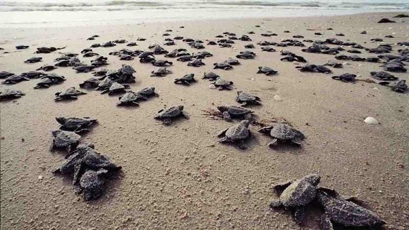 Những chú rùa biển trên bờ cát ở Côn Đảo