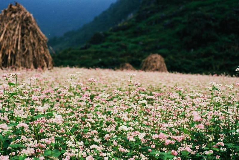 Cánh đồng hoa tam giác mạch tại Hà Giang