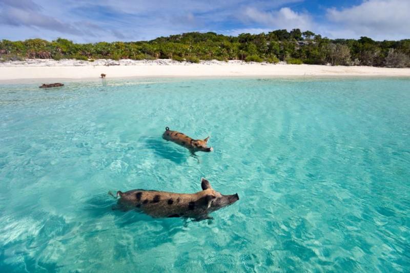 Quần đảo Bahamas là nơi cư ngụ của những chú heo rừng