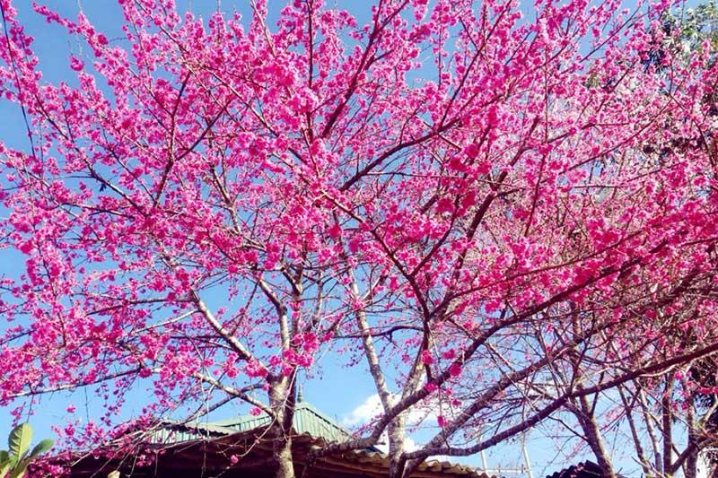 Hoa anh đào nở rực rỡ ở Điện Biên