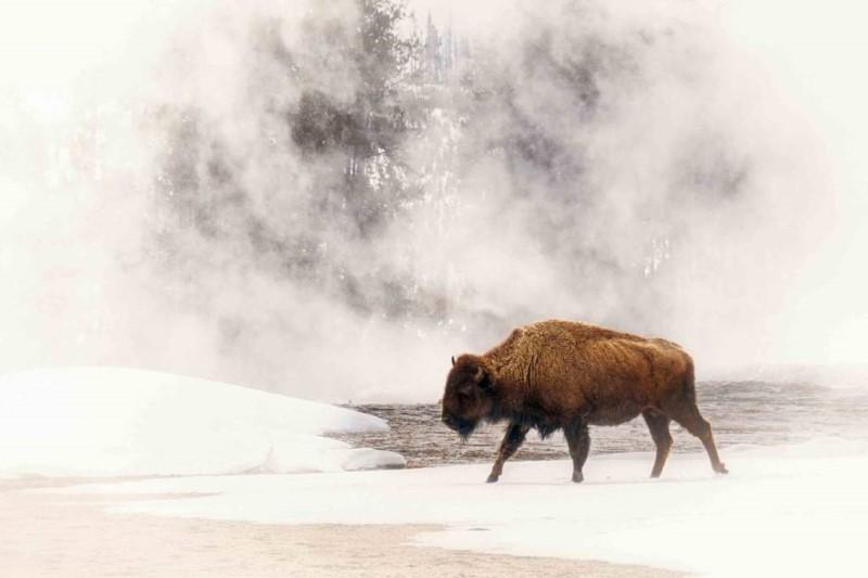 Động vật hoang dã tại Yellowstone ra suối nước nóng để sưởi ấm