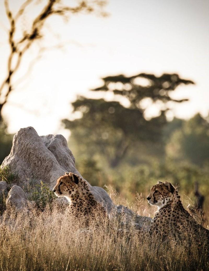 Những chú báo tại Zimbabwe
