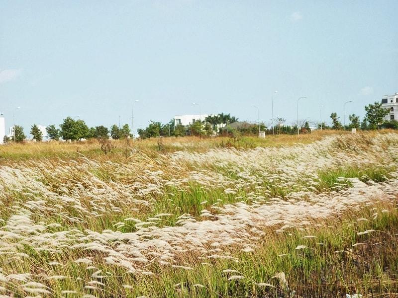 Cánh đồng cỏ lau bạt ngàn tại quận 7