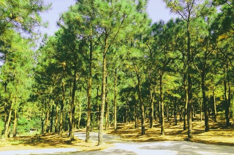 Khung cảnh rừng thông bạt ngàn trong xanh