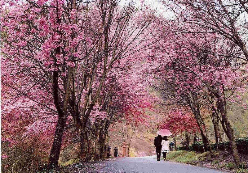 Khung cảnh lãng mạn ở Wuling Farm vào xuân khi những bông hoa anh đào bung nở.