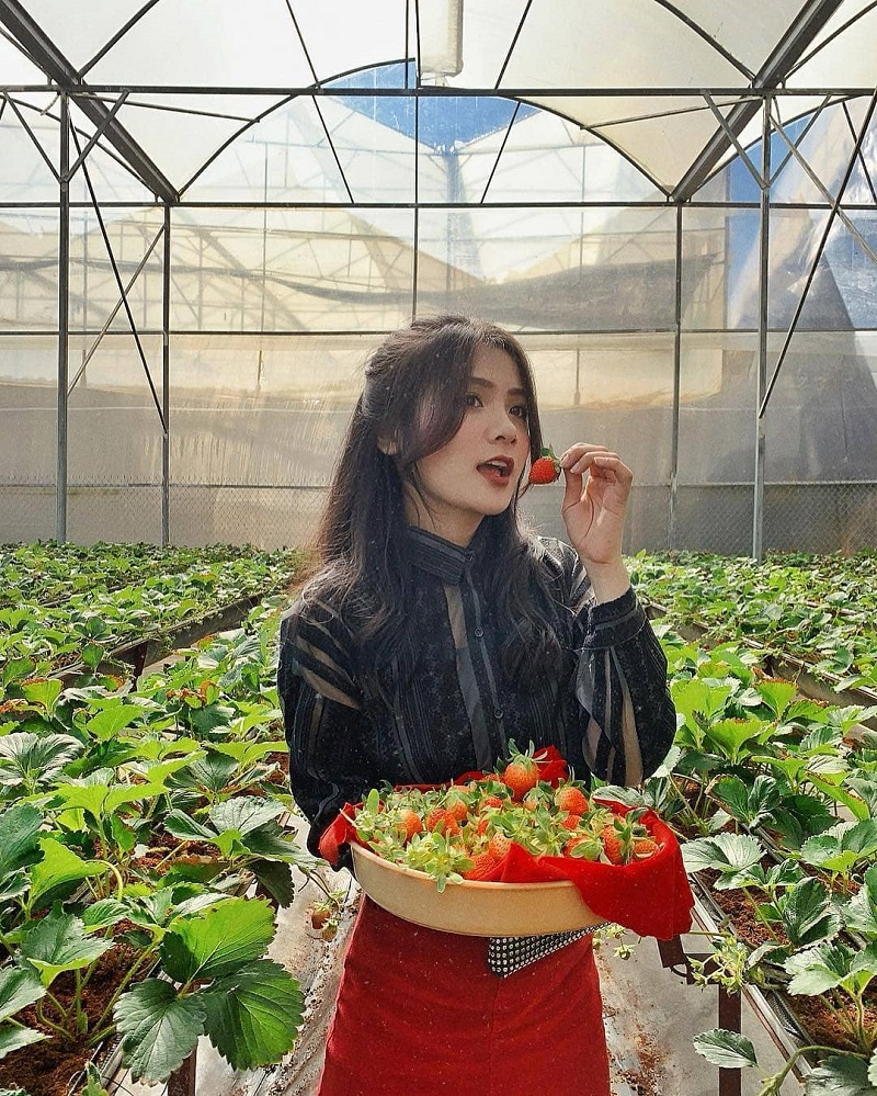 Tự tái hái và thưởng thức dâu tây ở vườn dâu Đà Lạt