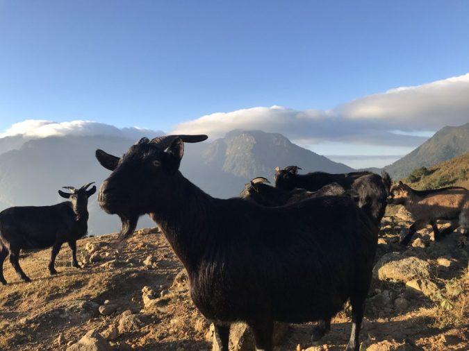 những chú dê trên đỉnh núi