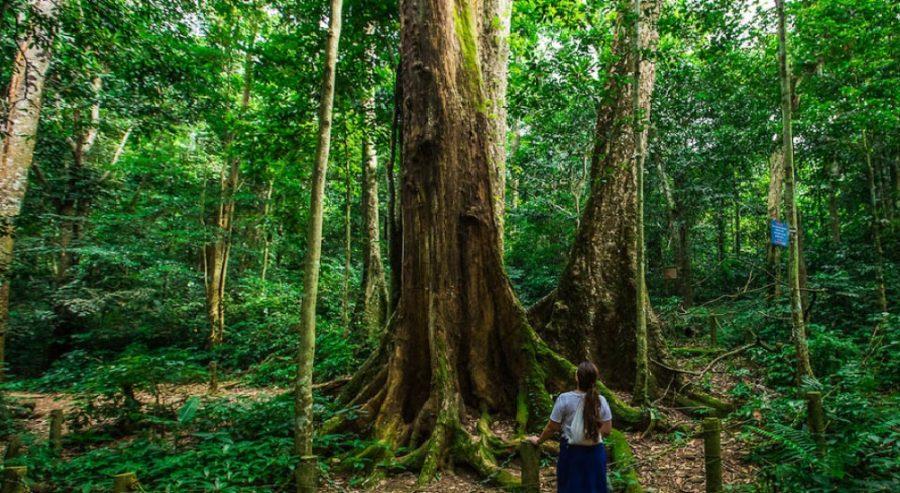 cây chò ngàn năm tuổi tại rừng cúc phương