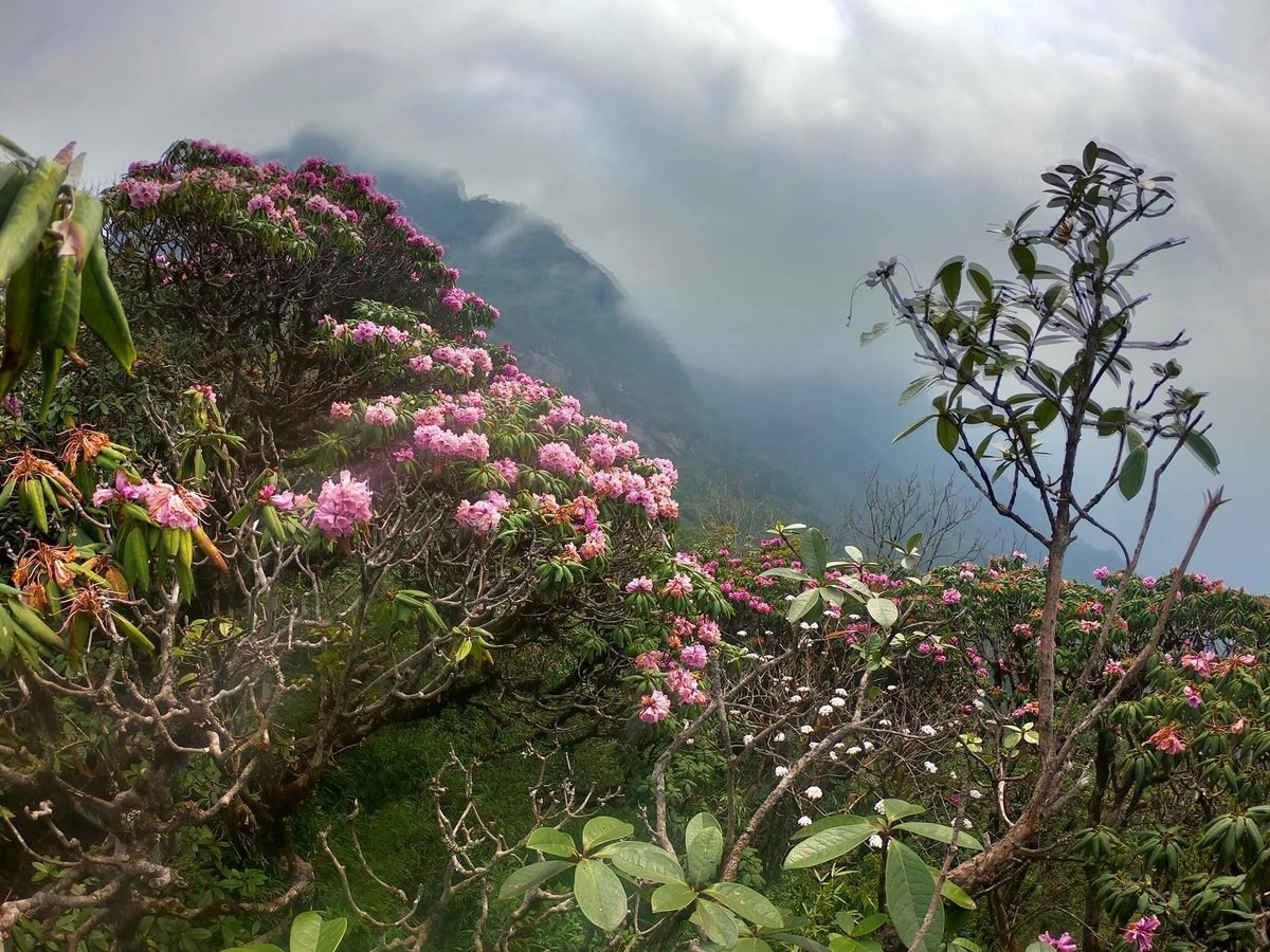 hoa đỗ quyên trên đỉnh núi Tả Liên Sơn