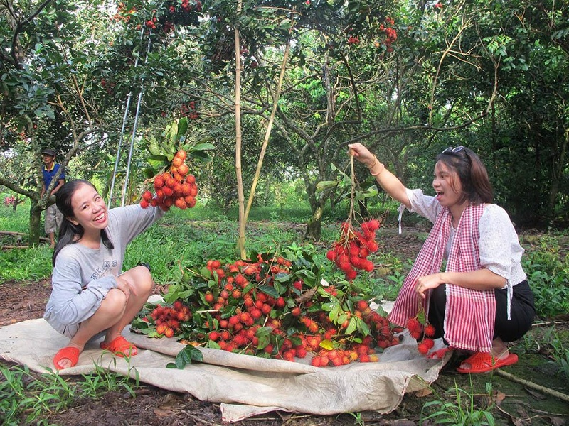 Hai cô gái đang thu hoạch chôm chôn ở vườn Cái Mơn