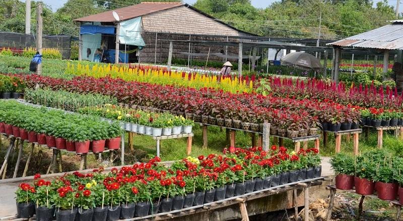 Những vườn hoa đầy sắc màu ở làng hoa cảnh Chợ Lách