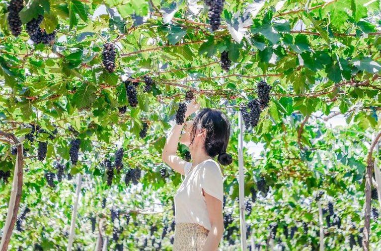 Những vườn nho ở Ninh Thuận đang là địa điểm mới nổi được đông đảo du khách yêu thích. Bạn sẽ được tham quan vườn nho, chụp ảnh dưới giàn nho sai trĩu quả hay thưởng thức nho tươi, siro nho và rượu nho.