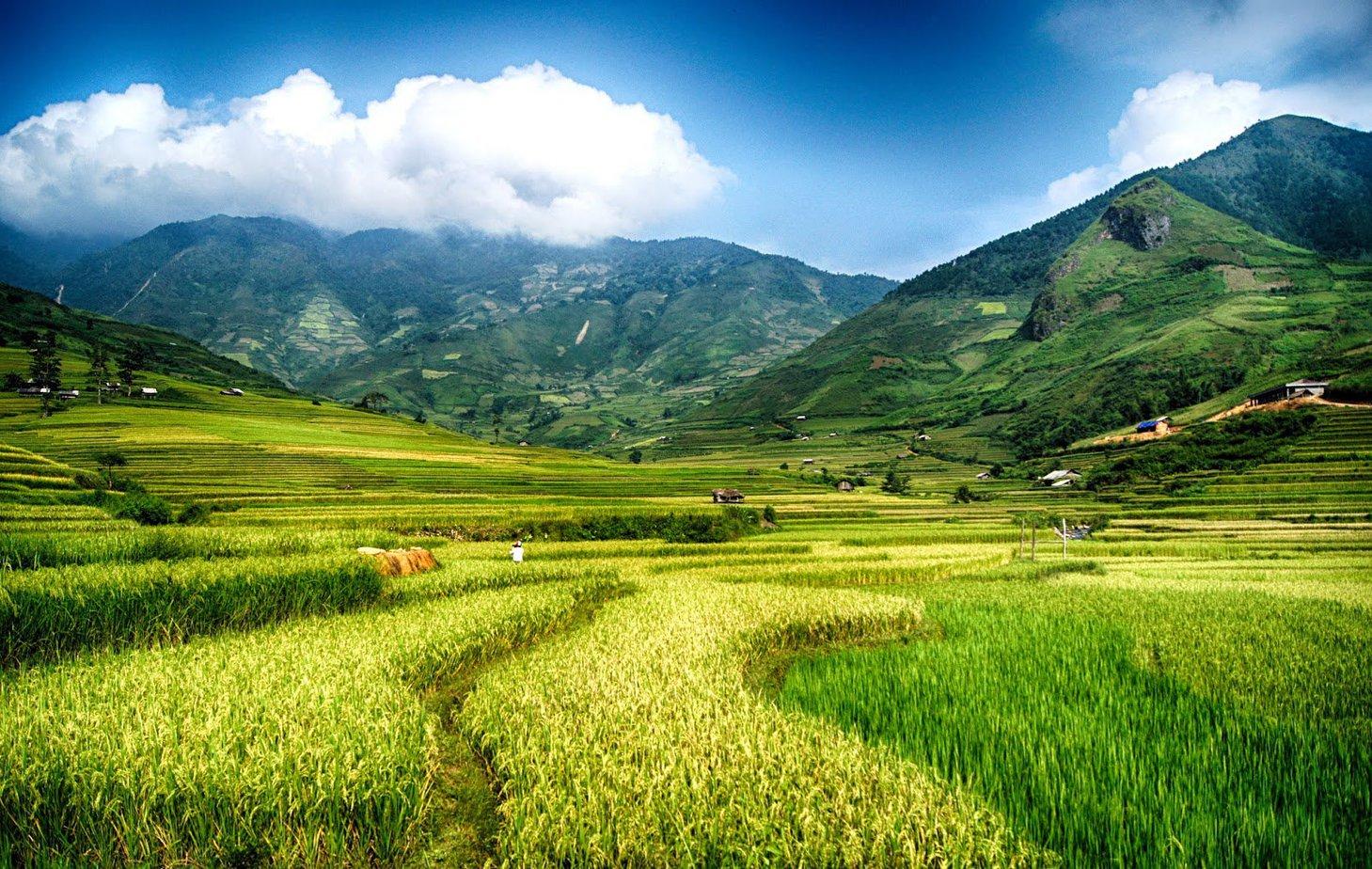 Cánh đồng lúa Mường Lò đang trổ đòng, xung quanh có đồi núi rừng cây bao bọc