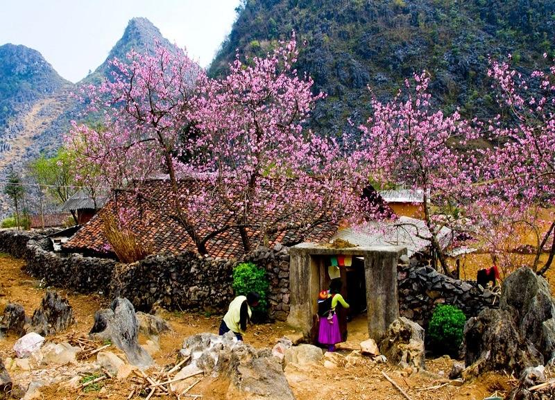 Bản làng Sapa vùng Tây Bắc rực rỡ sắc hoa anh đào nở rộ
