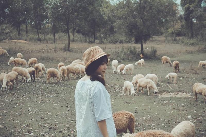 Bạn nữ chụp ảnh với những chú cừu ở đồi cừu Suối Nghệ