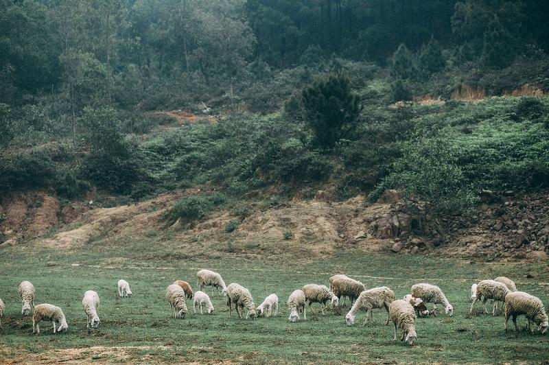 Những chú cừu đang thong dong gặm cỏ ở bên đồi